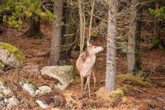 Één enkele rode elaphus van hertencervus in een Glencoe bosn de Schotse hooglanden stock afbeelding