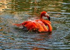 Één enkele rode Flamingo die en rond in het water bespatten waden Royalty-vrije Stock Fotografie