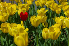 Één enkele rode tulp Royalty-vrije Stock Afbeeldingen