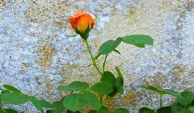 Één enkele Rose Against Stone Wall royalty-vrije stock foto's