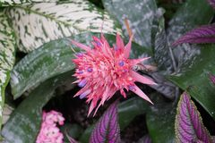 Één enkele Roze Bromelia in een Tropische Forrest stock afbeeldingen