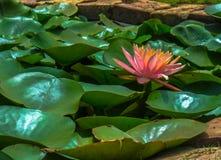 Één enkele roze die lotusbloembloem in een vijver door de groene bladeren wordt omringd stock foto