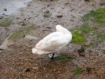 Één enkele stodde zwaan van erachter onder één voet het gladstrijken Royalty-vrije Stock Fotografie