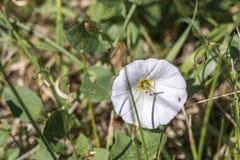 Één enkele witte bloem naast de weg Stock Afbeelding