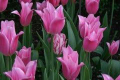 Één enkele witte en roze die tulp in de tuin door roze tulpen wordt omringd Stock Afbeeldingen