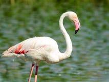 Één flamingoclose-up in het Nationale Park van Camargue, Frankrijk Royalty-vrije Stock Fotografie