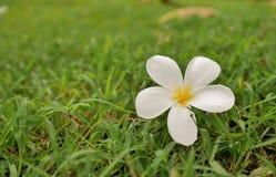 één frangipanibloem op gras royalty-vrije stock foto