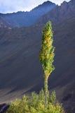Één geelgroene boom in de bergen, Ladakh, India Royalty-vrije Stock Afbeeldingen