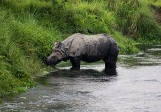 Één-gehoornde rinoceros Stock Afbeeldingen
