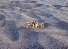 Één gele krab op de kust stock afbeeldingen