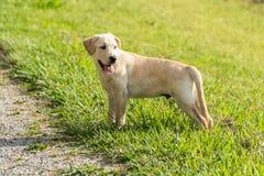 Één Gele Labradorpuppy Status Stock Foto