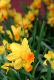 Één Gele narcis onder velen Royalty-vrije Stock Afbeeldingen