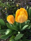 Één gele tulp Stock Afbeeldingen