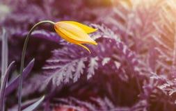 Één gele wilde tulp tegen surreal purpere achtergrond stock foto