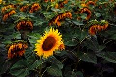 Één gelukkige zonnebloem die door vele droevige degenen wordt omringd Royalty-vrije Stock Fotografie