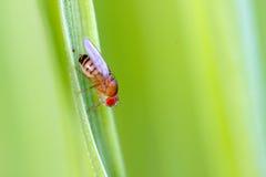 Één gemeenschappelijke fruitvlieg Stock Foto
