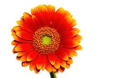 Één Gerber-bloem die op wit wordt geïsoleerd Royalty-vrije Stock Fotografie