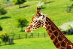 Één Giraf Stock Foto's