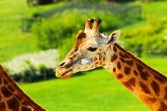 Één Giraf Royalty-vrije Stock Afbeelding