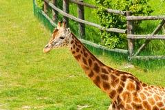 Één Giraf Royalty-vrije Stock Foto's