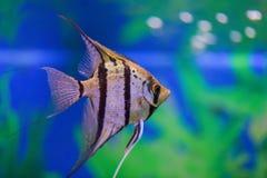 Één grijze gestreepte zeeëngel zwemt in een transparant aquarium op een groene achtergrond royalty-vrije stock foto
