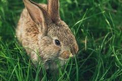 Één grijze konijnzitting in het gras royalty-vrije stock fotografie