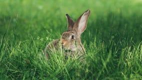 Één grijze konijnzitting in het gras stock afbeelding