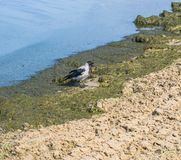 Één grijze kraai zoekt voedsel in de overzeese modder op de kust stock afbeeldingen