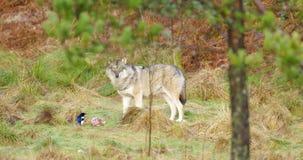 Één grijze wolfstribunes in het bos en de wachten een stuk van vlees stock footage