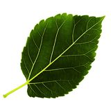 Één groen blad van moerbeiboom is geïsoleerd op witte achtergrond, onderkant van blad stock foto