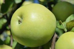 Één groene rijpe appel op een boomtak Stock Foto's