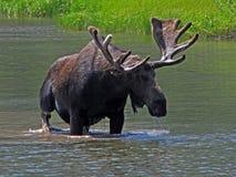 Één Grote Amerikaanse eland van de Stier Stock Foto