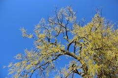 Één Grote Boom die Jonge Groene Bladeren in de Lente ontluiken royalty-vrije stock afbeelding