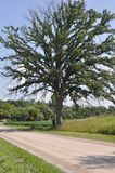 Één grote eiken boom! stock fotografie