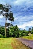 Één grote hoge boom en gang in Kao Yai National Park, Thailand royalty-vrije stock fotografie