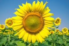 Één grote zonnebloem Royalty-vrije Stock Foto's