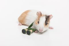 Één hamsterclose-up op wit Stock Afbeelding