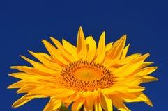 Één heldere kleurenzonnebloemen Stock Foto's