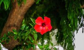 Één heldere rode bloem op een boom royalty-vrije stock afbeeldingen