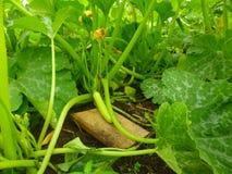 Één het groene courgette groeien Royalty-vrije Stock Afbeelding