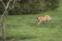 Één het Jonge Gouden Hond Sprinten Stock Afbeeldingen