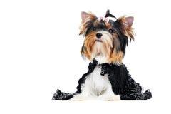 Één het puppyhond van Yorkshire van de Terriër (van van drie maanden) Royalty-vrije Stock Foto's