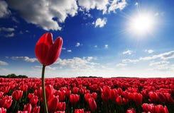 Één het rode tulp plakken uit boven een gebied van rode tulpen Stock Fotografie