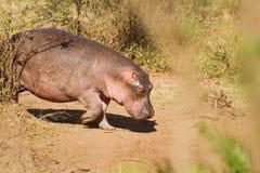 Één hippo Royalty-vrije Stock Afbeelding