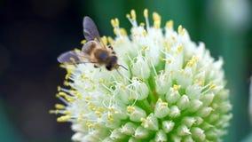Één honingbij die nectarstuifmeel met bloem op de lente zonnige dag verzamelen