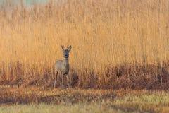 Één jong hert die van reebokcapreolus zich voor rietriem bevinden royalty-vrije stock foto