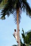 Één jonge Afrikaanse mens is bovenop kokospalm. Royalty-vrije Stock Afbeelding