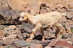 Één jonge geit die op rotsen in Marokkaanse bergen lopen Stock Afbeeldingen