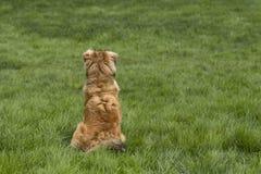 Één Jonge Gouden Hond onbeweeglijk Royalty-vrije Stock Afbeelding