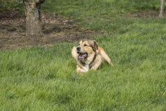 Één Jonge Gouden Hond onbeweeglijk Royalty-vrije Stock Foto